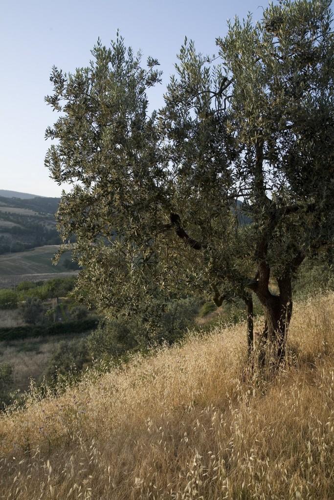Caiarossa - Olivo 1