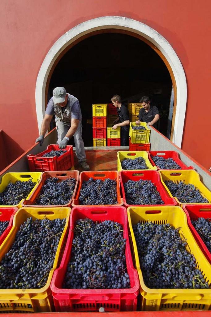 L'arrivo delle uve in cantina